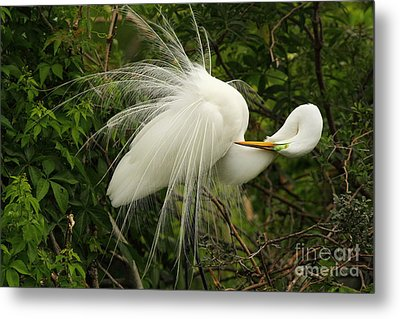 Great Egret Displaying Metal Print