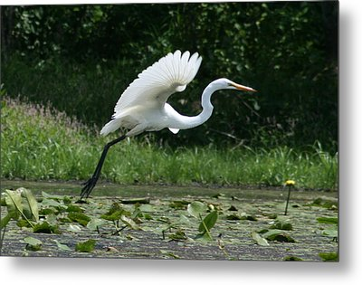 Great Egret Elegance   Metal Print
