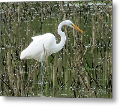 Metal Print featuring the photograph Great Egret by Eric Switzer