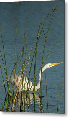 Great Egret Hunting For Its Food Metal Print