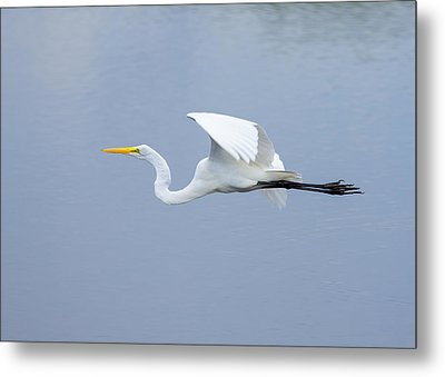 Metal Print featuring the photograph Great Egret In Flight by John M Bailey
