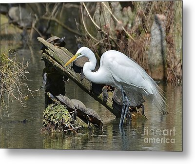 Great Egret In The Swamps Metal Print
