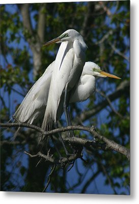Great Egret Pair 11x14 Metal Print