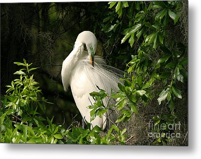 Great Egret Preen Metal Print