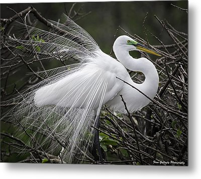 Great Egret Preening Metal Print