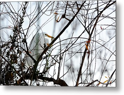 Great Egret Roosting In Winter Metal Print