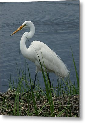 Great Egret Walking 16x20 Metal Print
