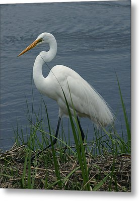 Great Egret Walking 8x10 Metal Print