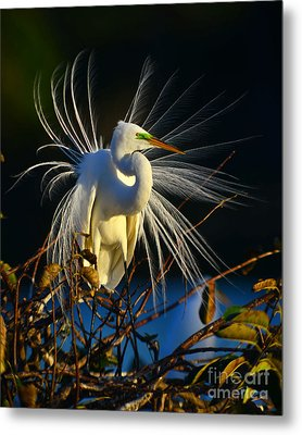 Great Egret With Breeding Plumage 1 Metal Print by Jane Axman