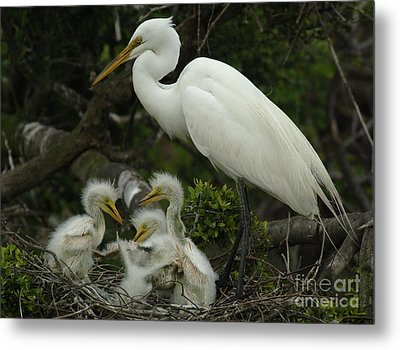 Great Egret With Young Metal Print by Bob Christopher