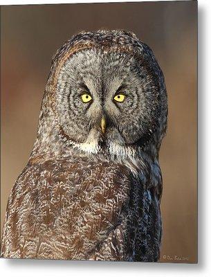 Great Gray Owl Portrait Metal Print by Daniel Behm
