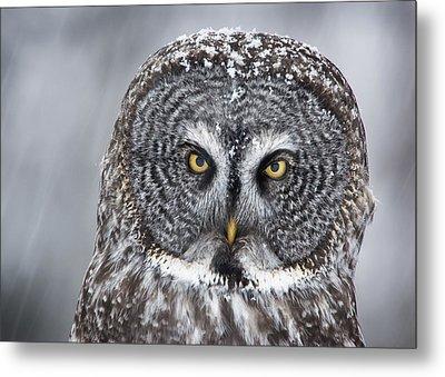 Great Gray Owl Scowl Minnesota Metal Print by Benjamin Olson