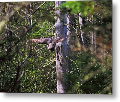 Metal Print featuring the photograph Great Grey Owl Pounces  by David Porteus