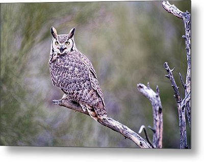 Metal Print featuring the photograph Great Horned Owl by Dan McManus