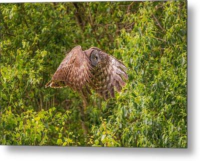 Great Horned Owl Metal Print by Laura Bentley