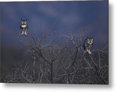 Great Horned Owl Pair At Twilight Metal Print by Daniel Behm