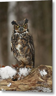 Great Horned Owl Watching You Metal Print by Inspired Nature Photography Fine Art Photography