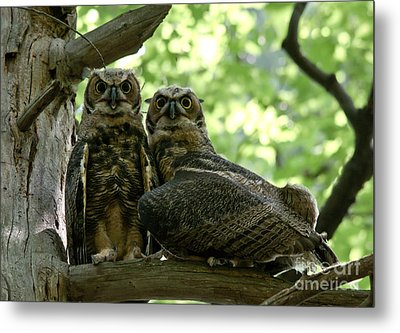 Great Horned Owls Metal Print by Cheryl Baxter