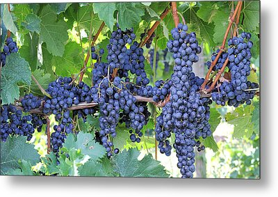 Great Lakes Vineyard Near Lake Erie Metal Print by Steve Archbold