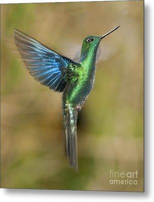 Great Sapphirewing Hummingbird Metal Print by Dan Suzio