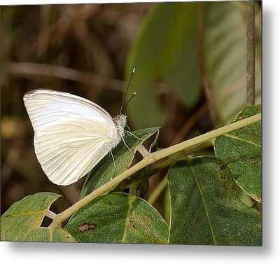 Great Southern White Butterfly Metal Print by Rudy Umans