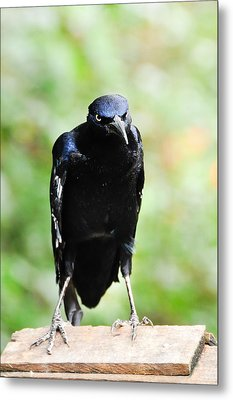 Great Tailed Grackle Metal Print