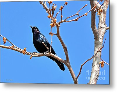 Great-tailed Grackle On A Sunny Spring Day Metal Print