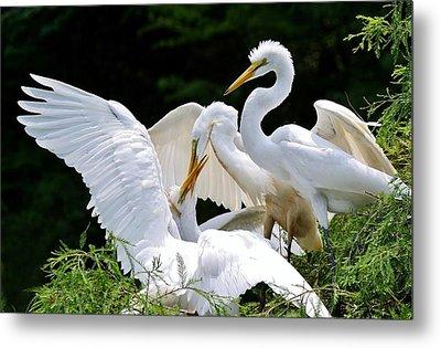 Great White Egret Feeding Time Metal Print by Paulette Thomas