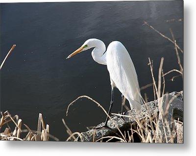Great White Egret Metal Print by Juan Romagosa