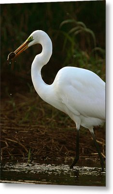 Great White Egret Metal Print by Mark Russell