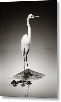 Great White Egret On Hippo Metal Print by Johan Swanepoel