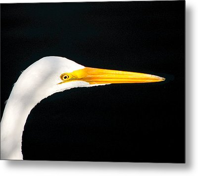 Great White Headshot. Merritt Island N.w.r. Metal Print by Chris  Kusik
