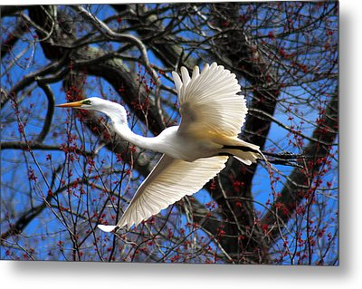 Great White Heron Islip New York Metal Print by Bob Savage