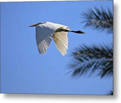 Metal Print featuring the photograph Great White In Flight by Penny Meyers