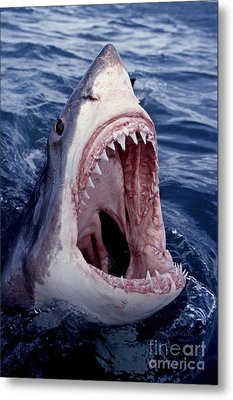Great White Shark Lunging Out Of The Ocean With Mouth Open Showing Teeth Metal Print by Brandon Cole