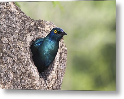 Greater Blue-eared Glossy-starling Metal Print by Andrew Schoeman