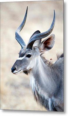 Greater Kudu Tragelaphus Strepsiceros Metal Print by Panoramic Images