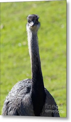 Greater Rhea 7d9043 Metal Print by Wingsdomain Art and Photography