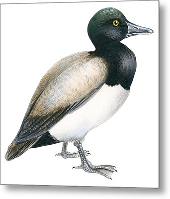 Greater Scaup Metal Print