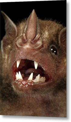 Greater Spear-nosed Bat Metal Print by Christian Ziegler