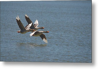 Greater White-fronted Geese In Flight Series 4 Metal Print