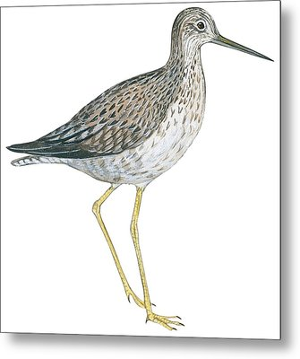 Greater Yellowlegs  Metal Print by Anonymous