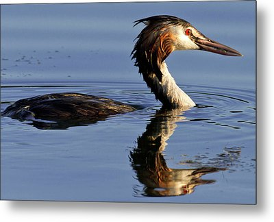 Metal Print featuring the photograph Grebe At Sunset by Charles Lupica
