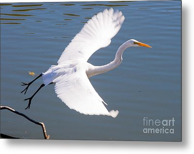 Greeat Egret Flying Metal Print by Thomas Marchessault