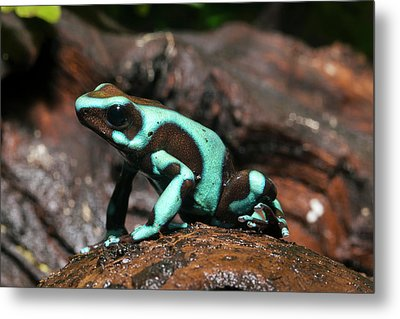 Green And Black Poison Dart Frog Metal Print