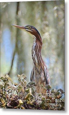 Green Backed Heron In An Oak Tree Metal Print by Kathy Baccari