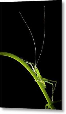 Green Bush Cricket Metal Print by Alex Hyde