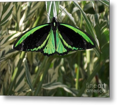 Metal Print featuring the photograph Green Butterfly by Brenda Brown