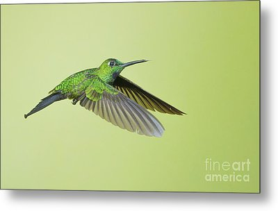 Metal Print featuring the photograph Green-crowned Brilliant Hummingbird by Dan Suzio