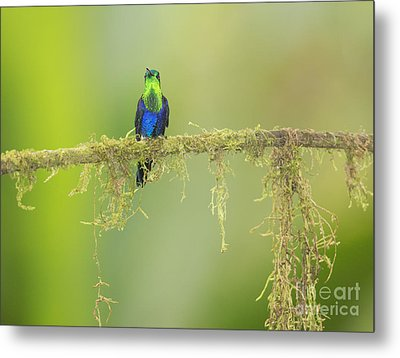 Metal Print featuring the photograph Green-crowned Woodnymph Hummingbird by Dan Suzio